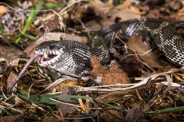 black rat snake feeding