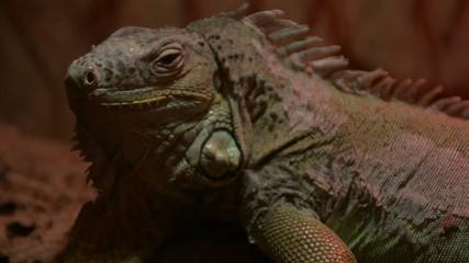 Iguana breathing