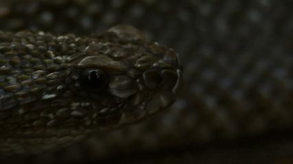camera following Venezuela rattle snake cotalus vegrandis