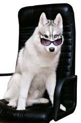 majestic portrait of grey black husky dog