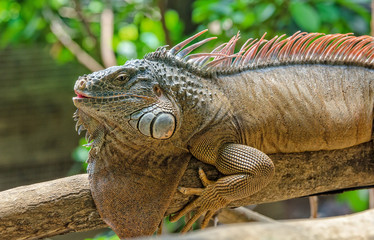 Iguana sleeping on the branches
