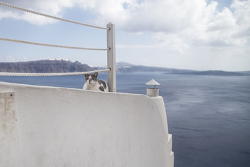 White Cat in a village at Santorini´s island. Beautiful view
