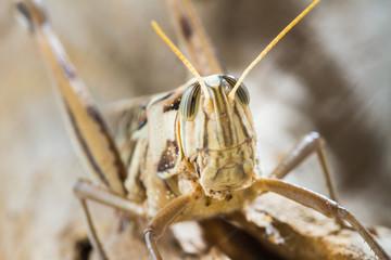 Close up of Big Grasshopper