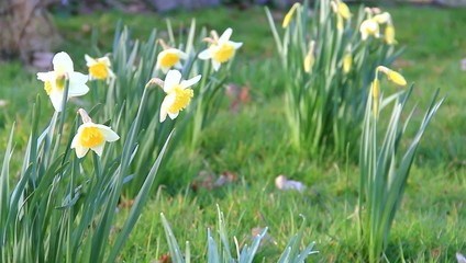 yellow daffodils, spring, springtime, garden, narcissus
