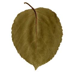 Лист дерева зелёного цвета на белом фоне