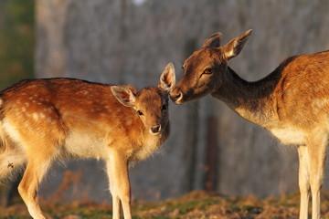 fallow deer doe and her baby