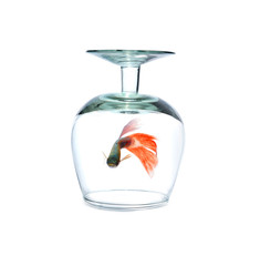 glass and guppy pet fish swimming isolated