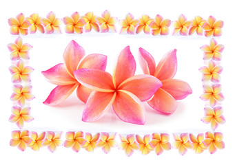 colorful plumeria flower on white