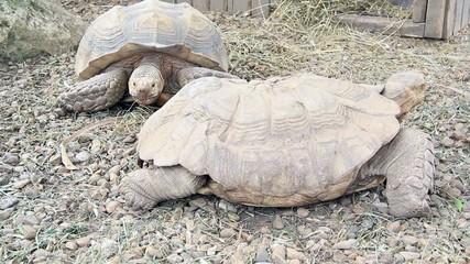 African Tortoise (Geochelone Sulcata)