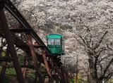 Slope car passing through tunnel of cherry blossom (Sakura)