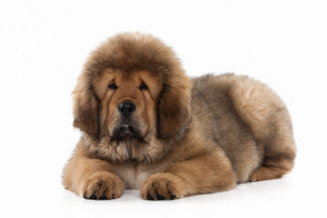 Dog. Tibetan mastiff puppy on white background