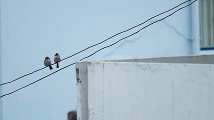 a pair of Red-whiskered bulbul is relaxing
