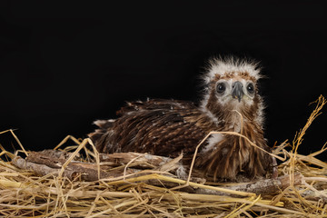 Young Brahminy Kite , Red-backed Sea-eagle in the nest