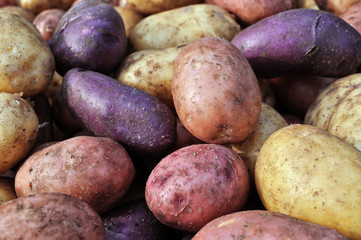 different potatoes after the harvesting