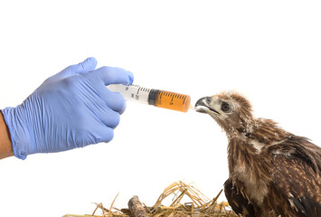 Vet feeding medicine with a syringe to young sea eagle