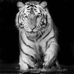 Tiger © art9858