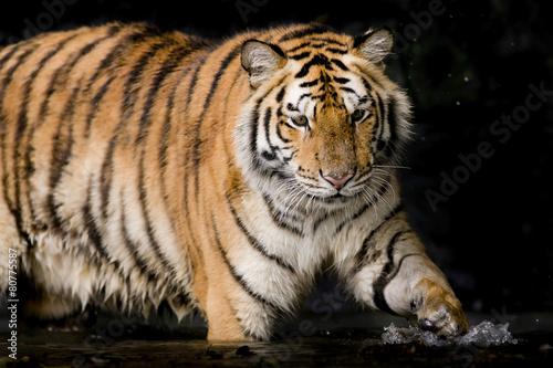 Foto op Plexiglas Tijger Portrait of tiger