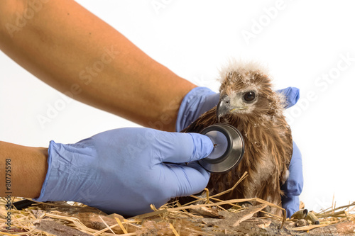 Eagle veterinarian holding and checkup young Red-backed Sea-eagle with