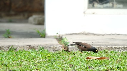 common myna is seeking and walking for food on the grass floor