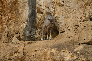 The Goral with wall mount