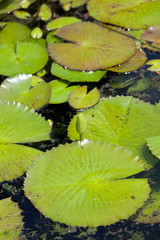 Green lily leafs