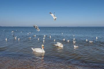 Mewy, szybujące nad morzem,  w towarzystwie łabędzi