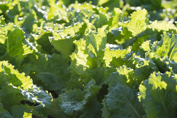 Background of growing lettuce plants on garden bed
