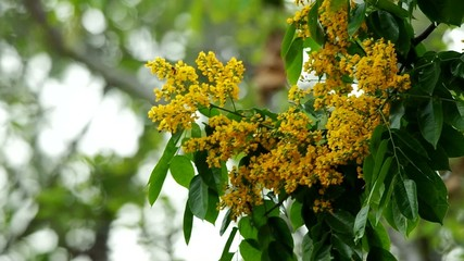 Indian rosewood flowers are blossoming on the tree