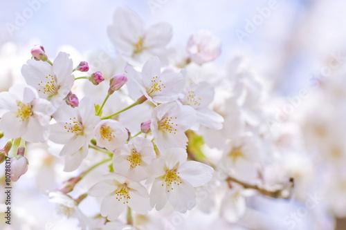 Foto op Plexiglas Kersen Cherry Blossoms in Japan