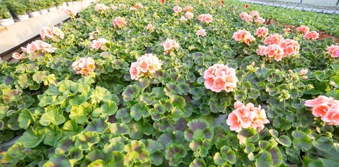 pink geranium plants for sale in the greenhouse