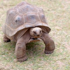 tortue géante d'Aldabra, île Rodrigues, Maurice
