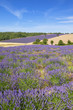 Vertical view of lavender and wheat field