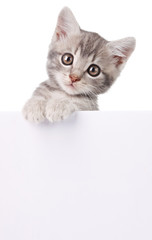 gray cat with white board
