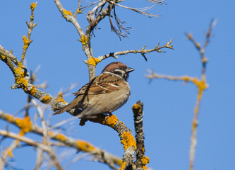 Eurasian tree sparrow on the branch