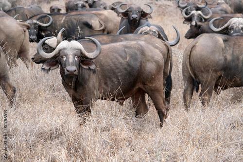 In de dag Buffel Troupeau de buffles