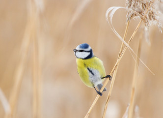 Blue tit on the dry reed