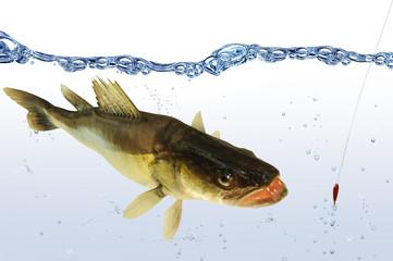 Fische 71