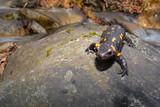 Fotoroleta Salamandra