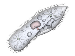 Paramecium isolated on white