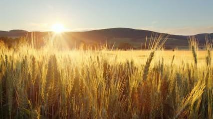 Wheat field - motion video