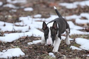 Mini Bull Terrier beim Laufen