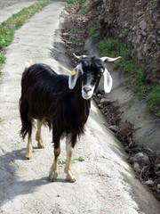 frei laufende Ziege auf dem Küsten-Wanderweg