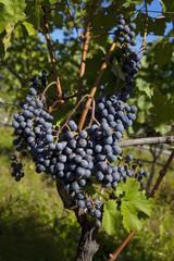 Weintrauben am Stock