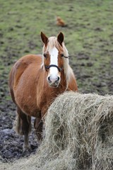 Bay Horse with Hay