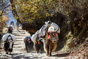 Yaks carrying weight in Nepal © ekashustrova