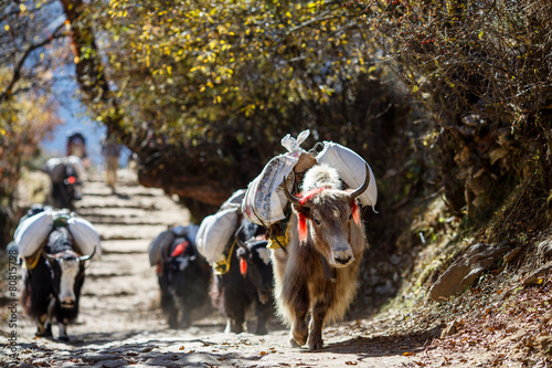 Fotobehang Nepal Yaks carrying weight in Nepal