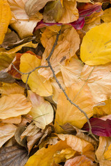 Detail of autumnal tree leaves