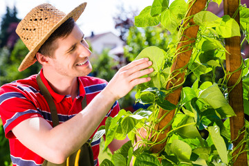 Mann pflegt Gemüse im Garten