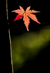 Detail of autumnal maple tree