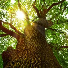 Sonnenstrahlen brechen sich in der Baumkrone einer alten Eiche